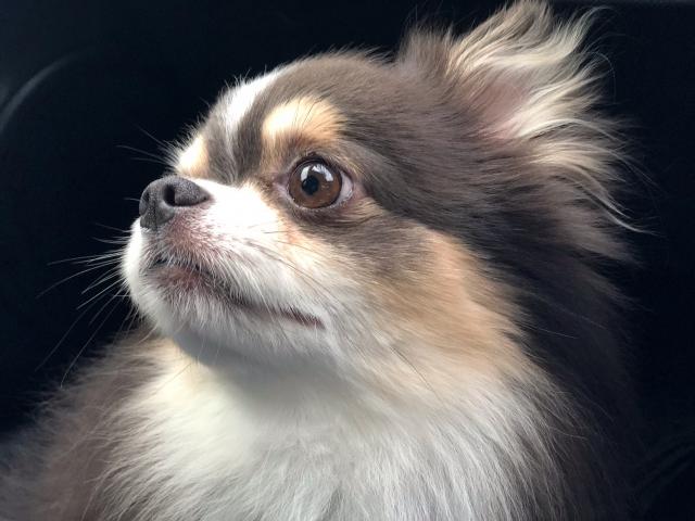 目黒蓮の愛犬チワワ2