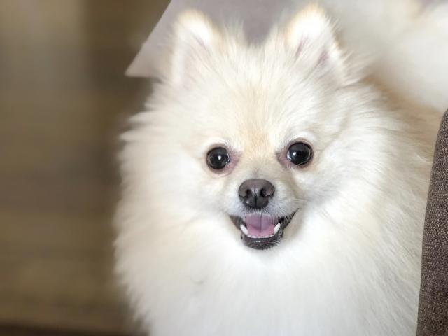 目黒蓮の愛犬ポメラニアン